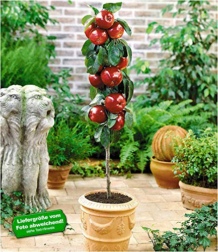 BALDUR-Garten Befruchtersorte Apfel 'Gala', 1 Pflanze Säulenapfel Säulenobst winterhart