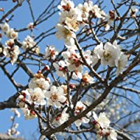 花梅[ハナウメ]:冬至(トウジ)接木苗4~5号ポット[12月下旬から開花する早咲白中輪/盆栽・鉢植えにも向く]