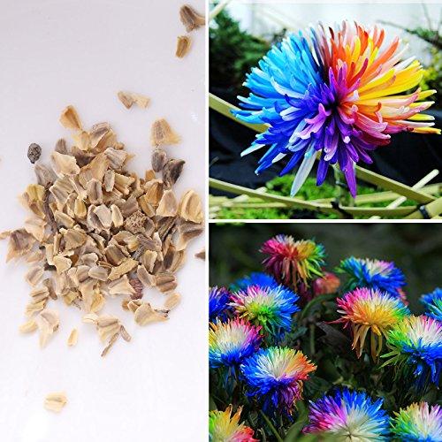 Rosepoem 100pcs arc-en-Chrysanthemum Graines de fleurs, couleur rare marguerite, les meilleures graines de cadeaux pour le bricolage jardin