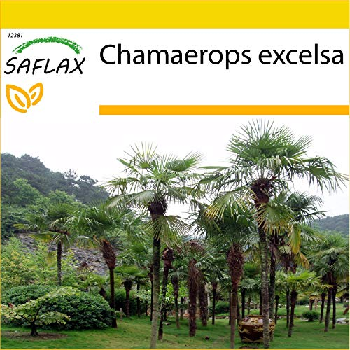 SAFLAX - Kit de culture - Palmier à chanvre - 10 graines - Chamaerops excelsa
