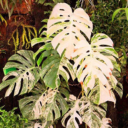 PLAT FIRM GRAINES DE GERMINATION: 200 Stück Palme Schildkröte Blätter, Monstera Bunte Samen Baum, Mischfarbe
