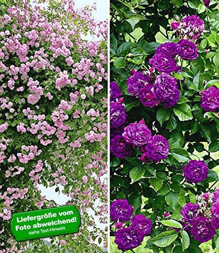BALDUR-Garten Rambler-Rosen-Kollektion blau und rosa, 2 Pflanzen Kletterrose winterhart mehrjährige Kletterpflanzen
