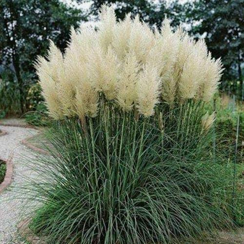 Ranking TOP13 Hardy Pampas Grass - Erianthus Ravennae 1 Sales results No. to 2 3 Ta Feet Pkt