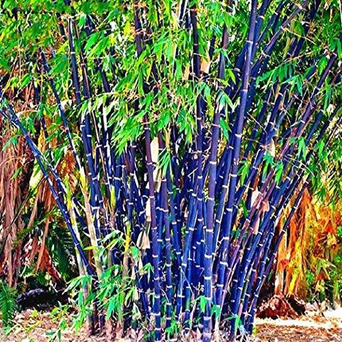 Soteer Garten - 100 Stück Exotisch Winterharter Bambus Samen 'Chinese Wonder' Roter/Goldener/Schwarzer/ 'Blue Dragon'/ Bambus Zierpflanzen mehrjährig für Ihre Garten und Haus
