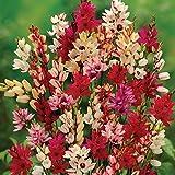 BULBOS DE FLORES para una floración de primavera/verano/otoño (30, IXIA en mezcla)