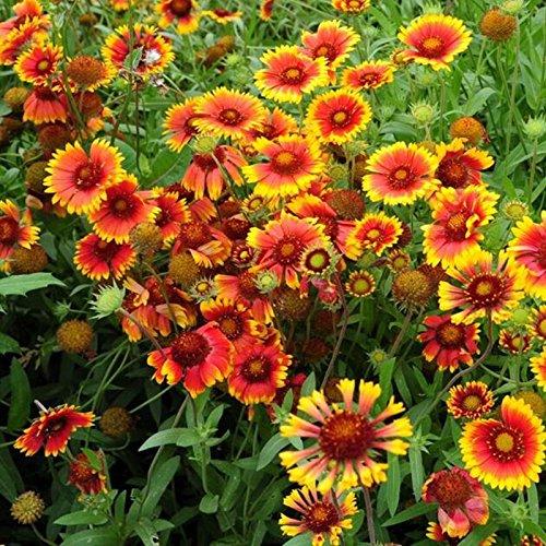 20 graines / semences Paquet Chrysanthemum graines Gaillardia pulchella rares Fleurs de beauté Maison et jardin des plantes spéciales Couleur des fleurs