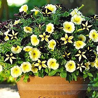ADB Inc Rare Phantom Petunia Flower Seeds