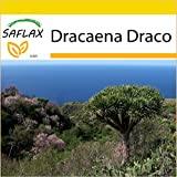 SAFLAX - Set de cultivo - Drago de Canarias - 5 semillas - Con mini-invernadero, sustrato de cultivo y 2 maceteros - Dracaena Draco