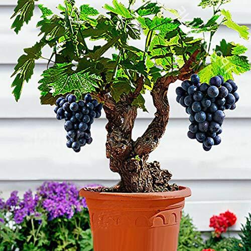 Plinia cauliflora Semillas, 85pcs / Semillas de uva bolsa nutritivo paisajes comestibles enanos Mini Bonsai Las plantas de semillero de Inicio