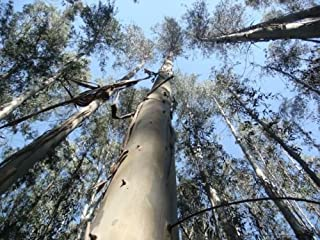 eucalyptus nitens seeds