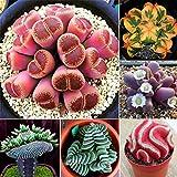 Fenido Samenhaus 100Pcs Ass Samen Mischung Lithops Samen Lebende Steine Samen Sukkulenten Samen