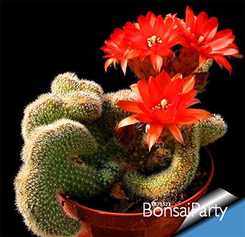 Nouvelles Graines 2015 100pcs Cactus Fleurs! / Sac Cactus semences de plantes graines de plantes rares Feuillage jardin et maison magique Semillas Flora, # I18I74