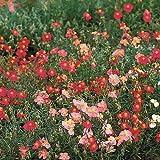 Rock Rose Flower Seeds (Helianthemum Mutabile Mix) 200 Seeds