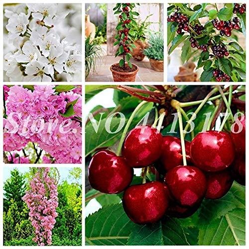 Bloom Green Co. 20 PC/bag Riesen Kirsche Außen Bio-Zwergkirsche Bonsai Topfbaumfrucht Tohum Gartenpflanze SaatgüterDie bestes Geschenk für Kind: 10 Stück Kirsche