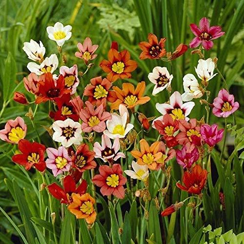 BULBOS DE FLORES para una floración de primavera/verano/otoño (30, Sparaxis en mezcla)