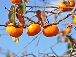 Pixies Gardens (2 Gallon Bare-Root) FUYU Japanese Persimmon, Reddish Orange Fruit, Looks Like Squat Tomato, NO PUCKERING/Non Astringent. High in Fiber and Vitamins. Eaten Fresh or as preserves.