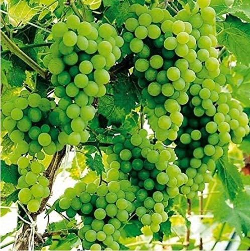 Qulista Samenhaus - Kernlos 30pcs Rarität Tafeltraube 'Lakemont®', veredelt Weintrauben super erfrischend ertragreich, Obstsamen winterhart mehrjährig