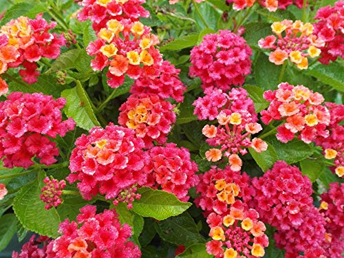 GreenCreator 50 Lantana Flower Seeds for Planting Great for Hummingbirds and...
