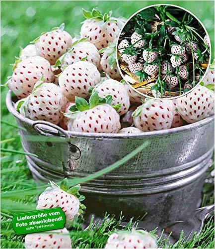 BALDUR Garten Weiße Ananas-Erdbeere 'Natural White®', 3 Pflanzen & 1 Pflanze rote Erdbeere Senga Sengana, Fragaria winterhart