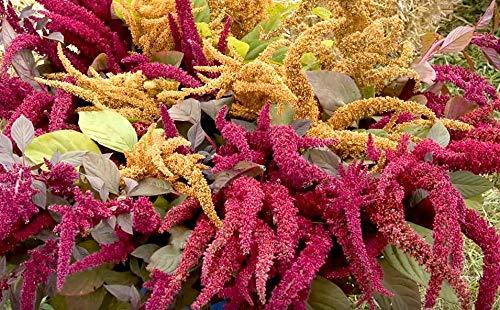 7 Arten - Garten-Fuchsschwanz Regenbogen Mischung - Amarant - 500 Samen (1 Beutel)