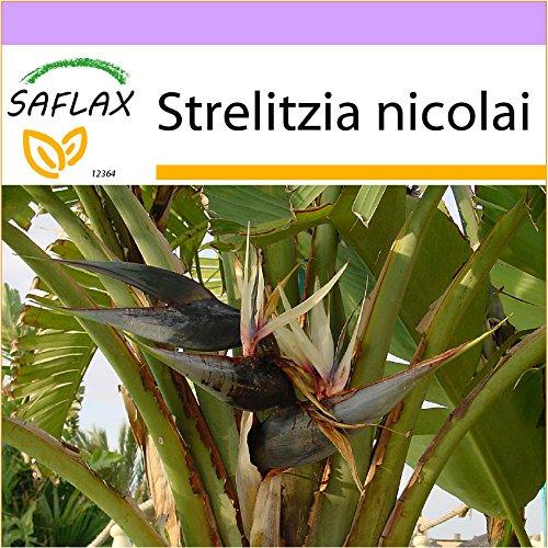 SAFLAX - Uccello del paradiso - 5 semi - Strelitzia nicolai