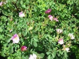 Rosa Woodsii'Woods' Rose' Choose 3,6 or 10 Native Plants! (6) Buy Direct from The Colorado Grower! Delivery in 4 Days!