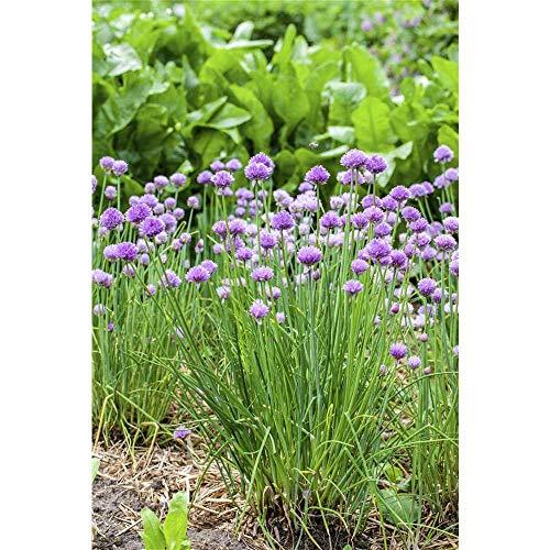 Allium schoenoprasum - Schnittlauch - 9cm Topf