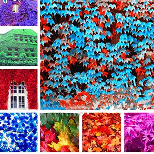 Tomasa Samenhaus-Efeu als Sichtschutz oder Bodendecker -Kletterpflanze für Garten, Teich und Vorgarten - Bunter Efeublätter winterfest - Pflanzen in Top Qualität von Garten