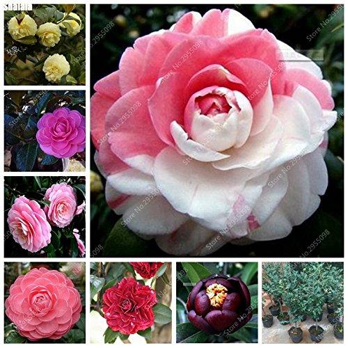 10 pcs/sac camélias japonais importés Graines exotiques Blooming Bonsai Jardin Plante vivace pot pour Flower Pot Planters