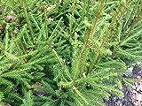 10 Stück Rotfichte/Gemeine Fichte - (Picea abies), Topfware 15-25 cm