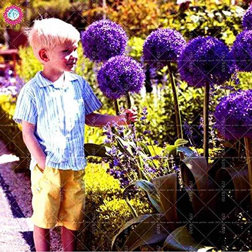 100pcs / Bag Riesen Allium giganteum Zwiebel Bonsai schöne lila Blume Pflanze Hausgarten Blumen Zwiebeln Topfpflanzen: 6
