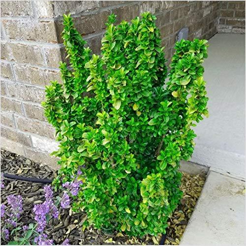 3X Euonymus Japonicus Green Spire Evergreen Spindle Variegated Garden Shrub