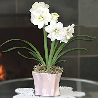 Grow Your Own Indoor Amaryllis Bulb Gift Kit   White Snow Drift Flower Bulb in a Limited Edition Vintage Pink Pot - Blooms in 4-8 Weeks - Easy to Grow