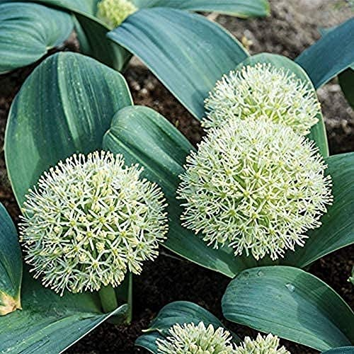 5 Stück Allium Zwiebeln Frühlingszwiebeln Zwiebelträumerische weiße Blumen für Garten Frühling Außendekoration Blumenzwiebel für Gartenhof Farm