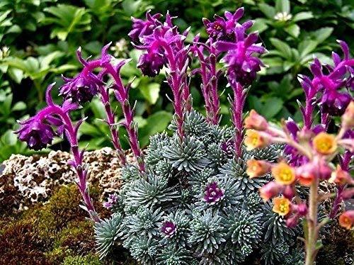 50 Sempervivum Seeds - (Saxifraga Sempervivum), HouseleekHens et Chicks- Hardy