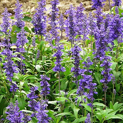 Rare graines de Multicolor,Aménagement paysager de Jardin en Pot de Fleur de Graine de Rose trémière-1g,vivaces graines Fleurs ornementales