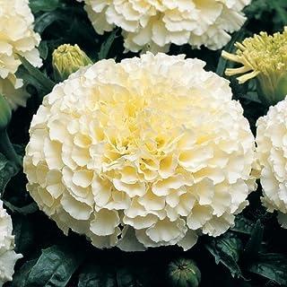 Pinkdose Blumensamen weiße Farbe blühende Pflanze Samen - afrikanische Ringelblume Hybrid beste Blumensamen Samen Küche Garten Samen Pack von
