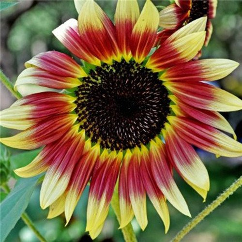20 pcs/sac de graines de tournesol, graines de tournesol pour la plantation des graines de fleurs bonsaï croissance naturel pour le jardin de la maison Plantin 2