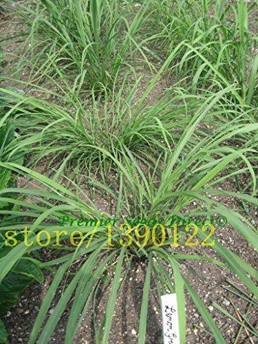 SwansGreen 200 Semillas de hierba de limón raras semillas de la herencia de la hierba flexuosus Lemongrass Semillas Semillas de flores utilizar frescas o secas de té de limón