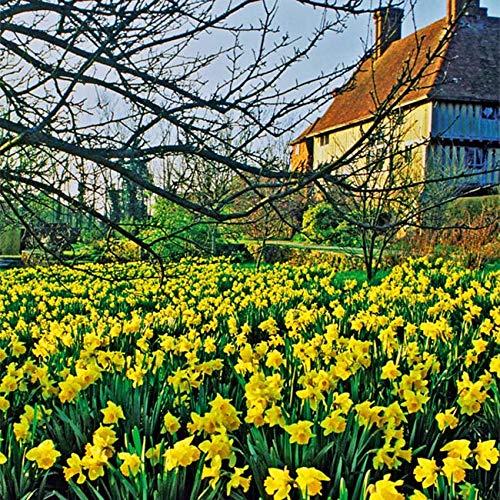 Narzissen-Zwiebeln Narzissenwiese Gelb – Blumenzwiebeln - Gelbe Osterglocken - Wilde Narzisse - 20 Narzissenzwiebeln von Garten Schlüter - Pflanzen in Top Qualität