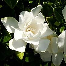 3 Gallon - Jubilation Gardenia - White Fragrant Blooms - Evergreen Shrub