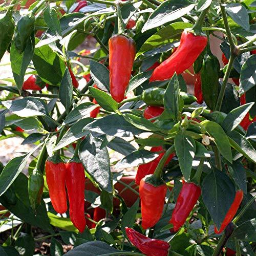 Pepper Chilli - Apache - 10 Seeds