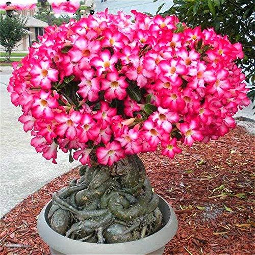 Bloom Green Co. 100% vero deserto Rosa dei bonsai piante ornamentali Balcone Bonsai Fiori in vaso DrawF Adenium Obesum Bonsai -1 Particelle/lot