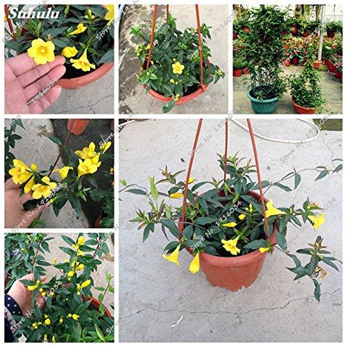 Graine jaune jasmin Bonsai Fleur plantes grimpantes bricolage jardin décoration maison Pots de fleurs Flower Street 40 Pcs Easy Grow