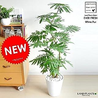 LAND PLANTS エバーフレッシュ 白セラアート鉢