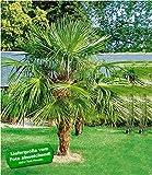 BALDUR-Garten Washingtonpalme, 1 Pflanze Washingtonia Fächerpalme