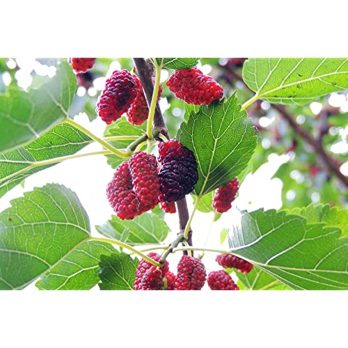 a293a2c095 Black Mulberry - Morus Nigra in 2L Pot 3-4ft Tall, Dark Purplish-