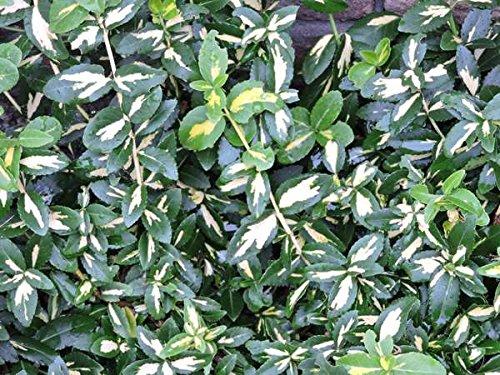 20 Stk. Kriechspindel 'Blondy' - (Euonymus fortunei 'Blondy')- Topfware 20-30 cm