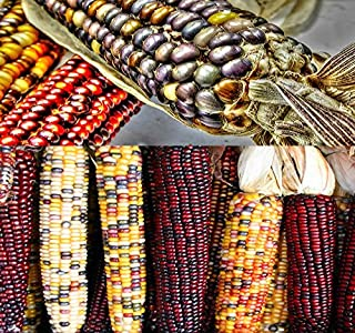 Best indian corn seed Reviews