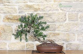 Rosemary bonsai tree (46)